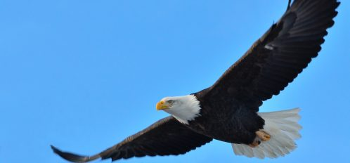 This is the best time to see the eagles in Red Wing, MN.